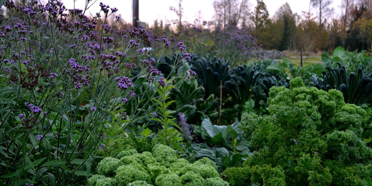Kålväxter i olika gröna nyanser och en lila blomma som höjer sig över kålen.