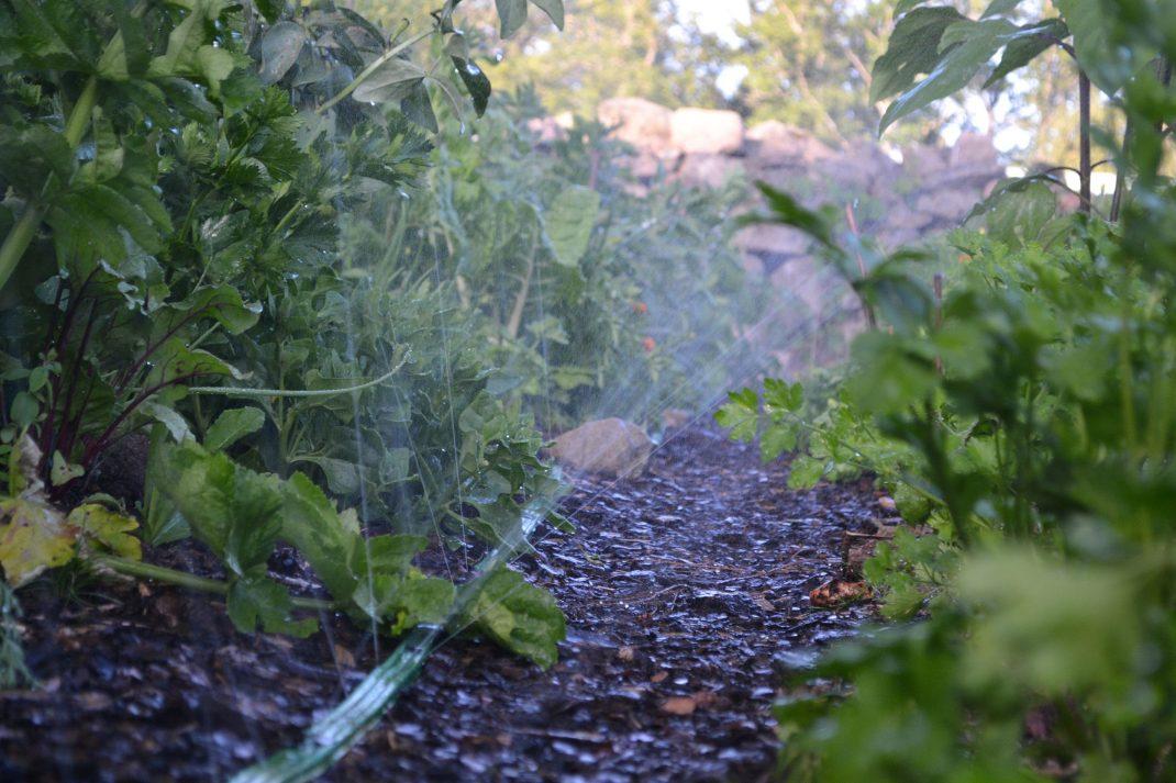 Vattenslang skjuter upp vatten i luften mellan två odlingsbäddar.