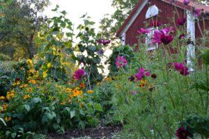 En blommande köksträdgård med sommarblommor i sprakande fäger.