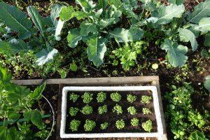 Bild på odlingsbäddar i tunnelväxthus.