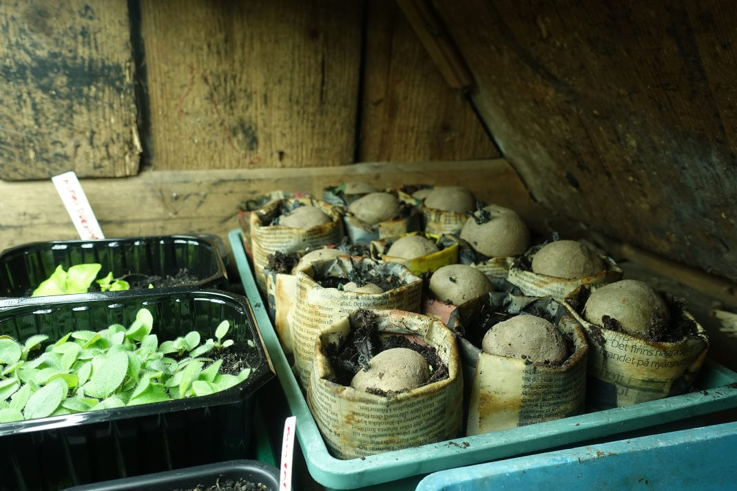 Ett utrymme med träväggar och ett tråg med sättpotatis i papperskrukor.