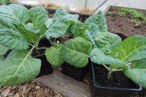 Fina gröna kålplantor i svarta krukor i tunnelväxthus.