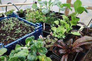 Flera tråg och brickor med grönsaksplantor i olika växtstadier står tätt tillsammans i tunnelväxthuset.