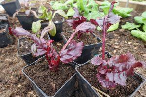 Två vinröda små plantor i svarta, fyrkantiga krukor. Bakom dem syns mera bladgrönt i klara nyanser.