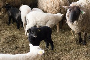 I lammhagen. Ett litet svart lamm tittar sig omkring bland tackor och vita lamm.