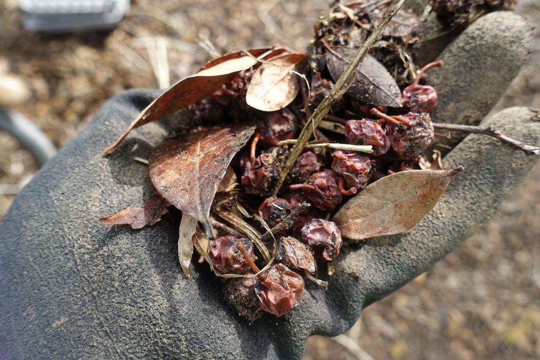 En hand med handske håller en näve torkade blåbär.