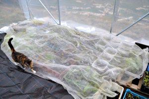 Massa plantor skyddas av en stor fiberduk och en katt smyger försiktigt bredvid.