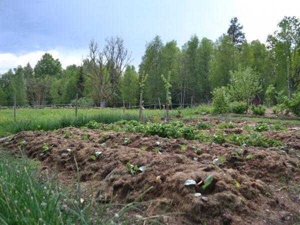 Ett stort land täckt med gräsklipp och rejäla kålplantor.