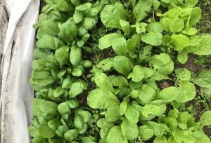 Bild tagen ovanifrån på bladgrönsaker som växer i rader bredvid varandra.