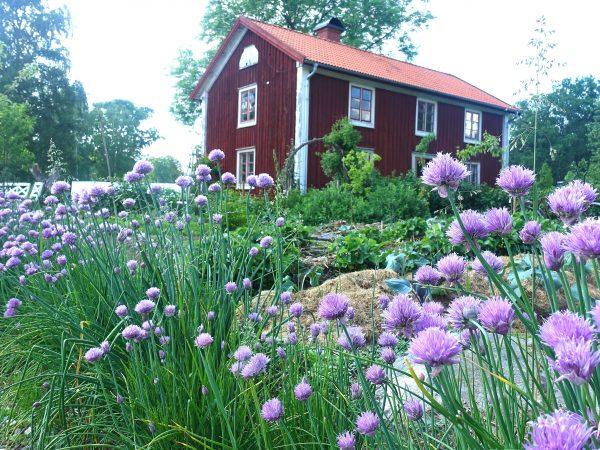 Gräslök blommar och ett rött hus syns i bakgrunden.