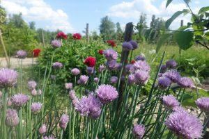 Lila blommor i förgrunden från gräslök och knallröda pioner i bakgrunden.
