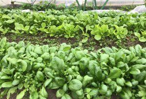 Olika gröna bladgrönsaker.
