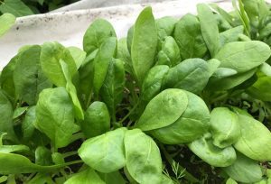 Närbild på frodiga gröna spenatblad.