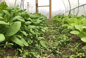 Bild tagen i lågt perspektiv på bladgrönsaker längs kanterna och en gång i mitten.