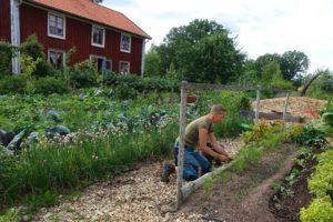En övergripande bild på köksträdården där Sara planterar vid en enkel spalje av träpinnar.