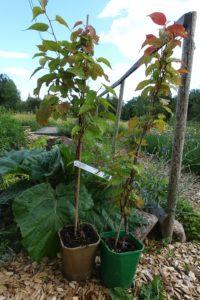 Närbild på de två plantorna i olikfärgade krukor, en hanplanta och en honplanta, med rödtonade blad.