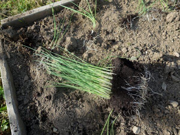 Ett knippe med purjolök i små plantor ligger på jorden.
