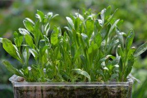 Närbild på ett tråg med gröna plantor.