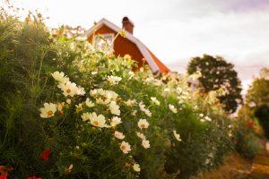 Rosenskäror i landet