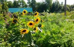 Solrosor i soligt läge i trädgården