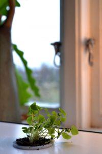 En ledsen liten planta av basilika i ett fönster.