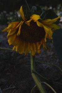 Stor gul solros